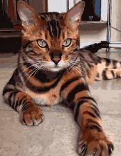 Картина по номерам 40х50 GX 3801 Тигровая кошка.